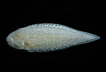 Image of Symphurus melanurus (Drab tonguefish)