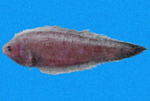 Image of Symphurus melasmatotheca (Blackstripe tonguefish)