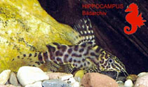 Image of Synodontis tourei