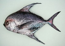Image of Taractichthys longipinnis (Big-scale pomfret)