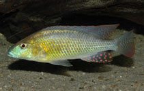 Image of Thoracochromis buysi (Namib happy)