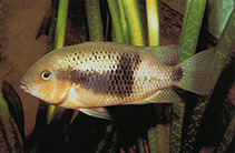 Image of Theraps intermedius (Northern checkmark cichlid)