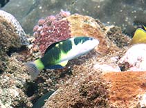 Image of Thalassoma nigrofasciatum (Blackbarred wrasse)