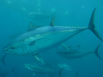 Image of Thunnus thynnus (Atlantic bluefin tuna)