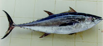 Image of Thunnus tonggol (Longtail tuna)