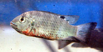 Image of Coptodon discolor