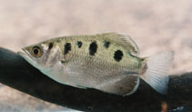 Image of Toxotes chatareus (Spotted archerfish)