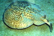 Image of Torpedo marmorata (Marbled electric ray)