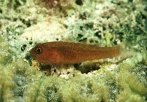 Image of Trimma flammeum (Flame pygmygoby)