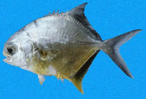 Image of Trachinotus kennedyi (Blackblotch pompano)