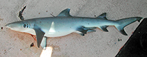 Image of Triaenodon obesus (Whitetip reef shark)