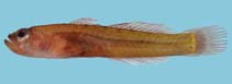 Image of Trimmatom sagma (Saddled dwarfgoby)