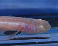 Image of Typhlichthys subterraneus (Southern cavefish)