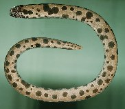 Image of Uropterygius polyspilus (Large-spotted snake moray)