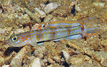 Image of Vanderhorstia attenuata (Tapertail shrimpgoby)