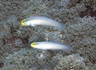Image of Valenciennea strigata (Blueband goby)