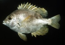 Image of Wattsia mossambica (Mozambique large-eye bream)