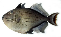Image of Xanthichthys lineopunctatus (Striped triggerfish)