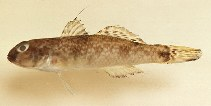 Image of Yongeichthys criniger