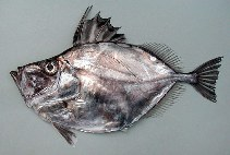 Image of Zenopsis conchifer (Silvery John dory)