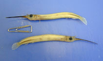Image of Zenarchopterus striga (Hooghly halfbeak)