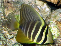 Image of Zebrasoma velifer (Sailfin tang)