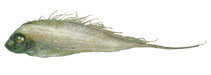 Image of Zu cristatus (Scalloped ribbonfish)