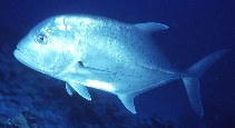 Image of Caranx ignobilis (Giant trevally)