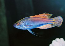Image of Cirrhilabrus lineatus (Purplelined wrasse)