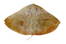 Image of Gymnura micrura (Smooth butterfly ray)