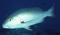 Image of Lutjanus bohar (Two-spot red snapper)