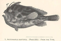 Image of Nudiantennarius subteres (Deep-water frogfish)