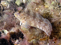 Image of Parablennius gattorugine (Tompot blenny)