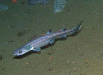 Image of Parmaturus xaniurus (Filetail catshark)