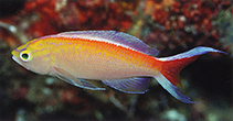 Image of Pseudanthias bimarginatus (Margined anthias)