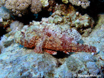 Image of Scorpaenopsis barbata (Bearded scorpionfish)