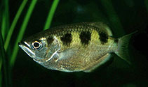 Image of Toxotes jaculatrix (Banded archerfish)
