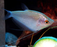 Image of Trichogaster microlepis (Moonlight gourami)